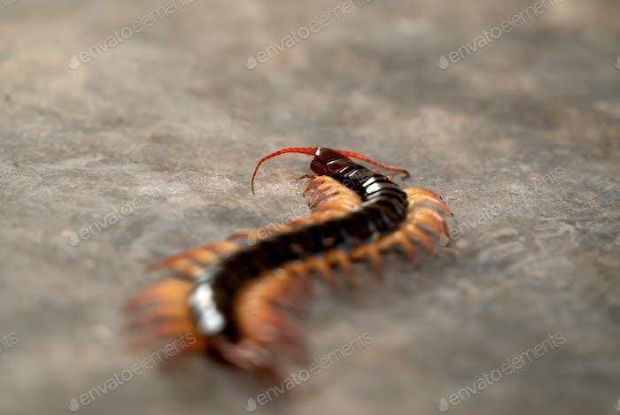 giant centipede on cement floor