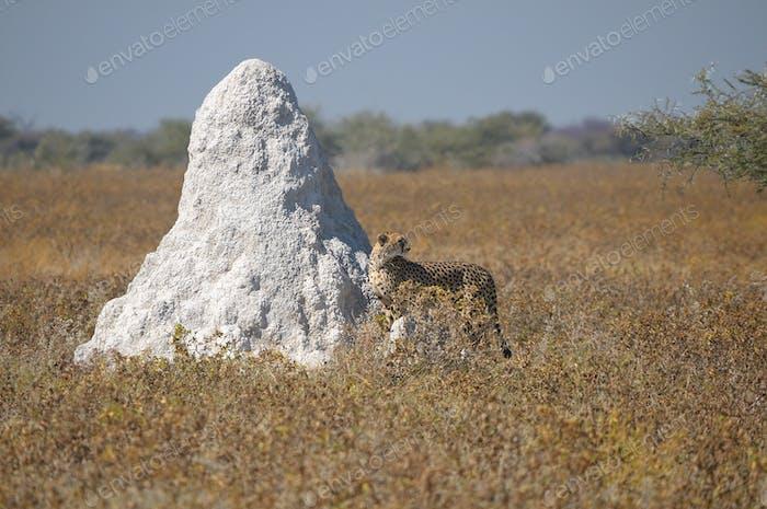 A Cheetah in the Etosha National Park