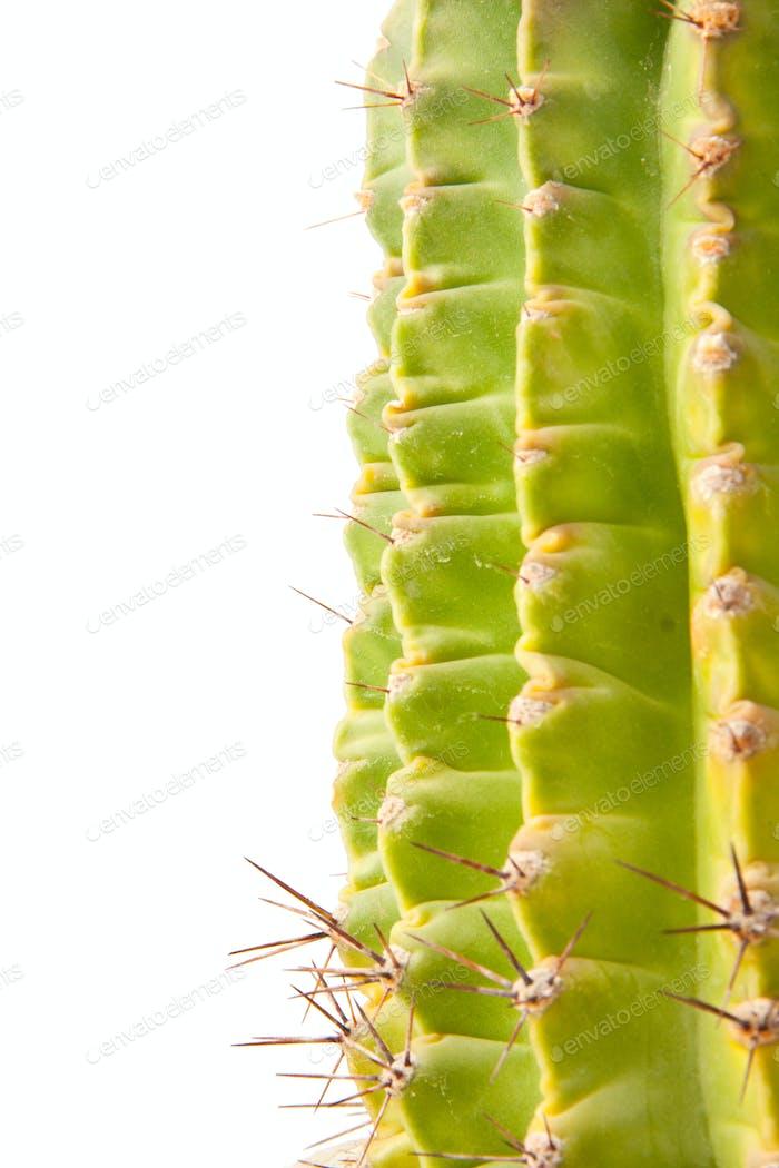 Green cactus