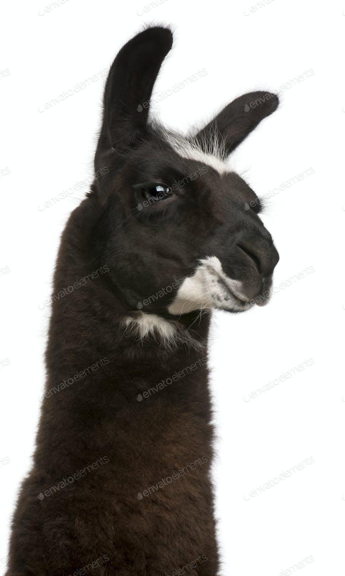 Llama, Lama glama, in front of white background