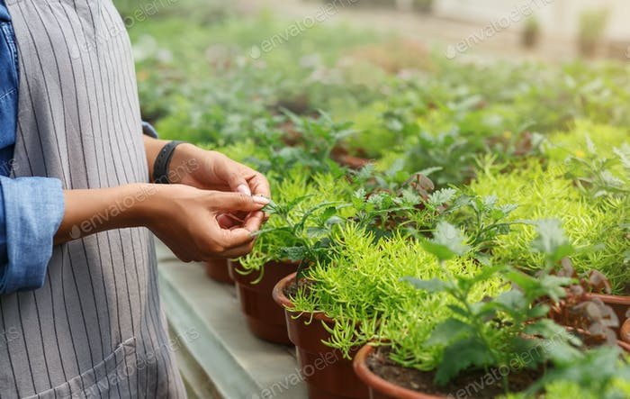 Gardener take care of flowers. Woman checks plants in pot in greenhouse at daylight