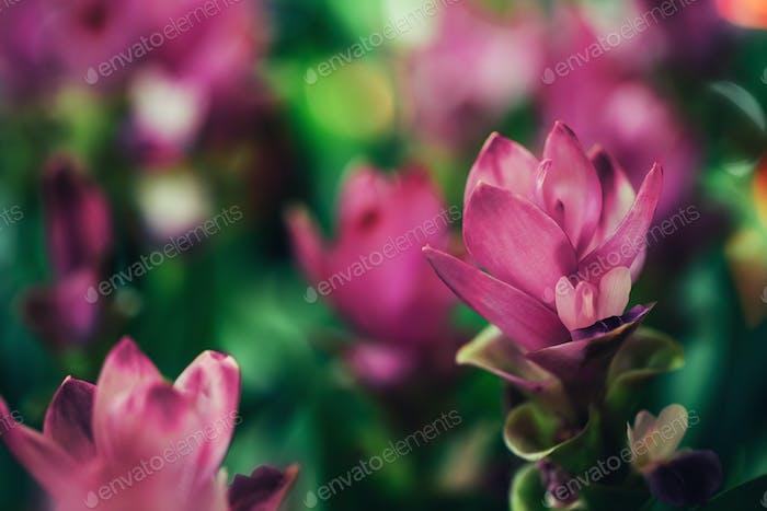 Hübsche ornamentale Ingwer rosa Blumen wachsen im Feld