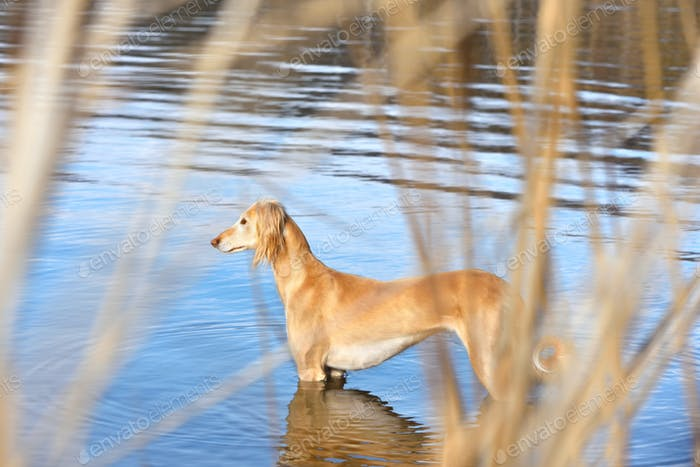 Beautiful borzoi dog Saluki