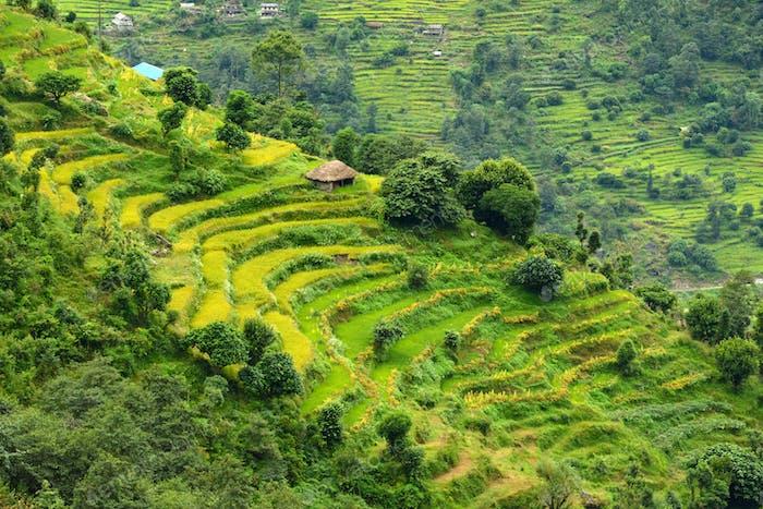 Terrassierte Reisfelder in Nepal