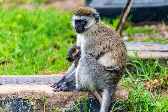Vervet monkey or Chlorocebus pygerythrus