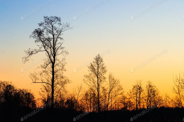 Silhouettes Of Trees Without Leaves On A Background Of Beautiful