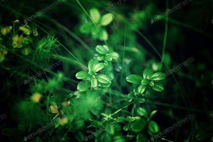 Small green leaves texture in forest. Wild nature. Summer concept. Copy space. Banner. Soft focus