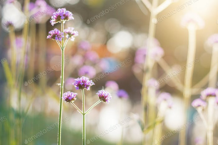 Verbena with sunrise