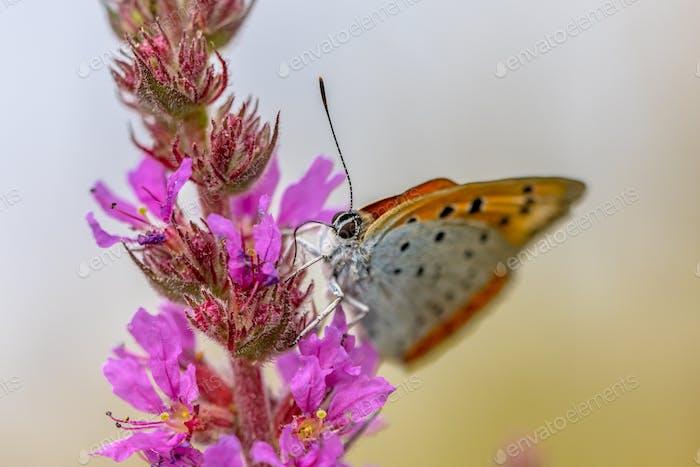 Großer kupferner Schmetterling trinkt Nektar auf lila Blume