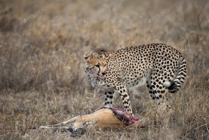 Cheetah with prey, Serengeti National Park, Tanzania, Africa
