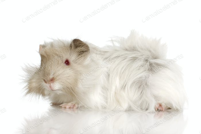 Lilac peruvian guinea pig