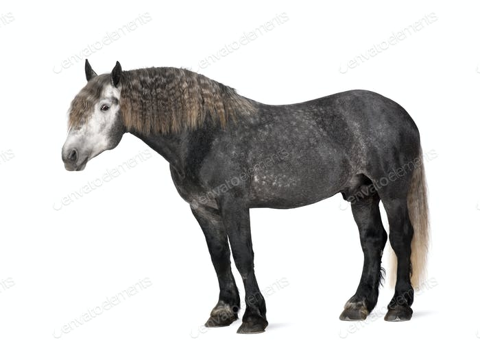 Percheron, 5 years old, a breed of draft horse, portrait standing against white background