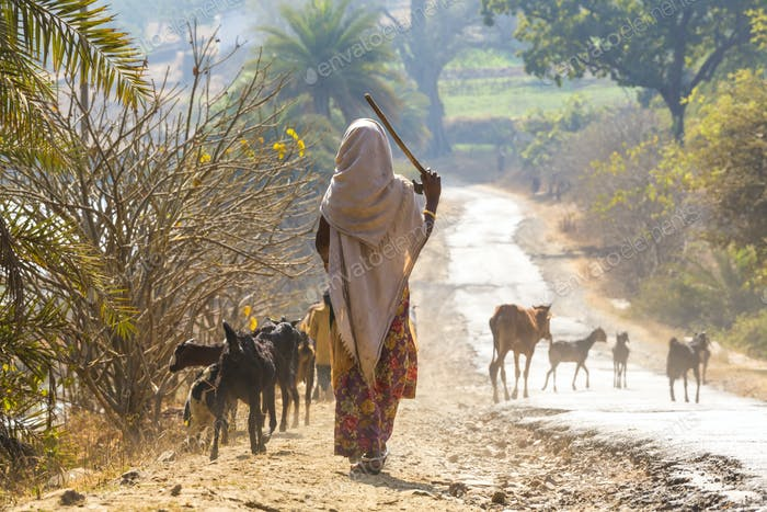 Rear view of woman wearing sari walking down a rural road, herding goats.