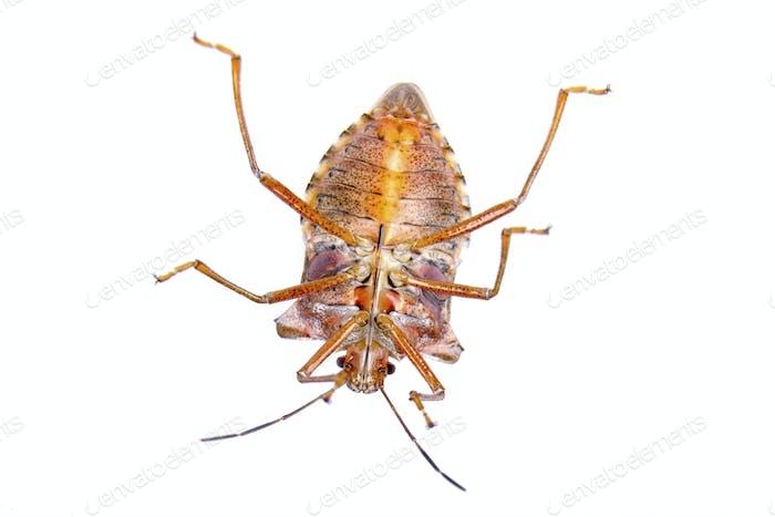 Bug de escudo sobre Fondo blanco