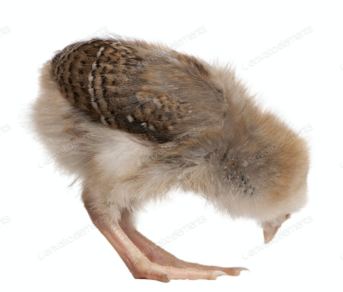 Chick, 13 days old, bending over in front of white background, studio shot