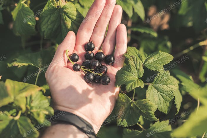 Black currant berries in hand and bush in garden