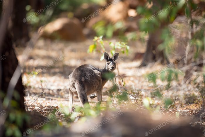 Kangaroo in the woods