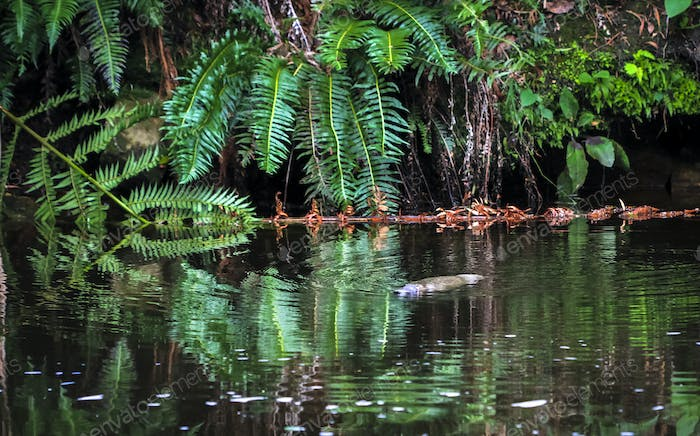 Duck-billed Platypus in the Water in Tasmania
