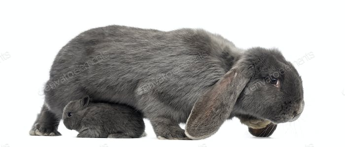 Side view of a Lop-eared rabbit and young rabbit, isolated on white