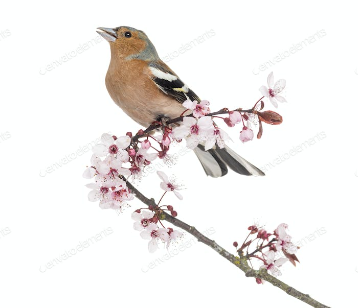 Common Chaffinch Perched On Japanese Cherry Branch Tweeting