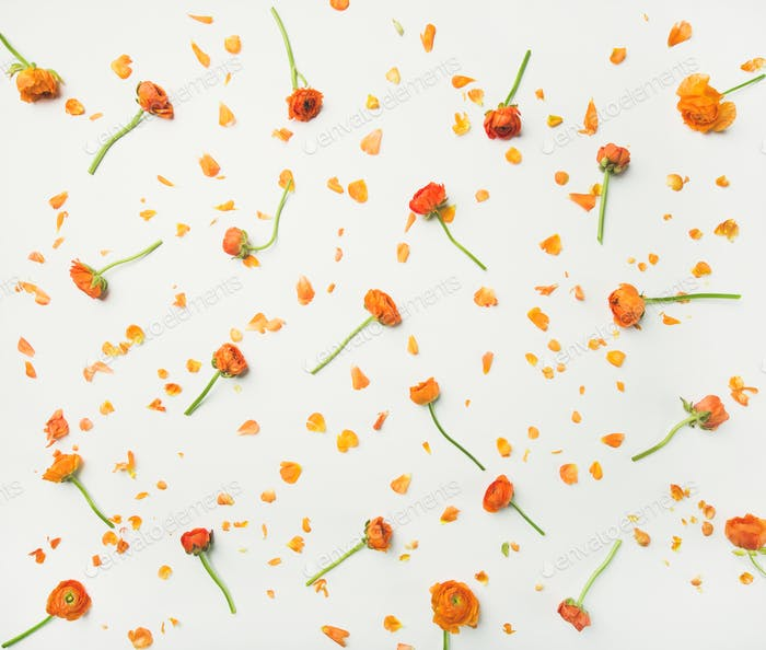 Flat-lay of orange buttercup flowers over white background, top view