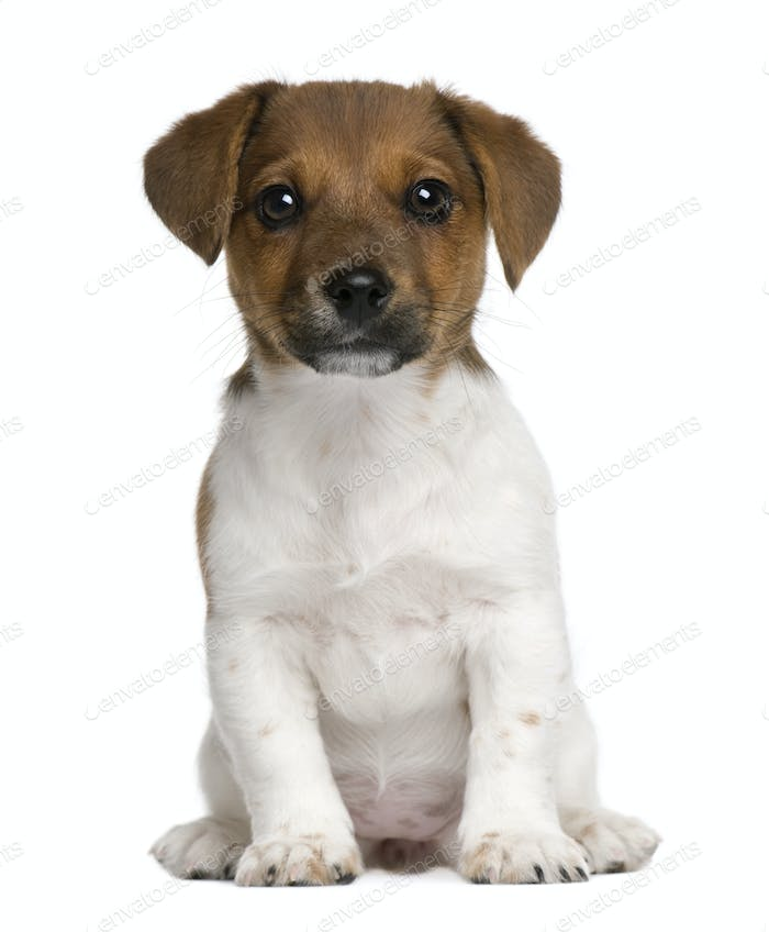 Jack Russell terrier puppy, 3 months old, sitting against white background