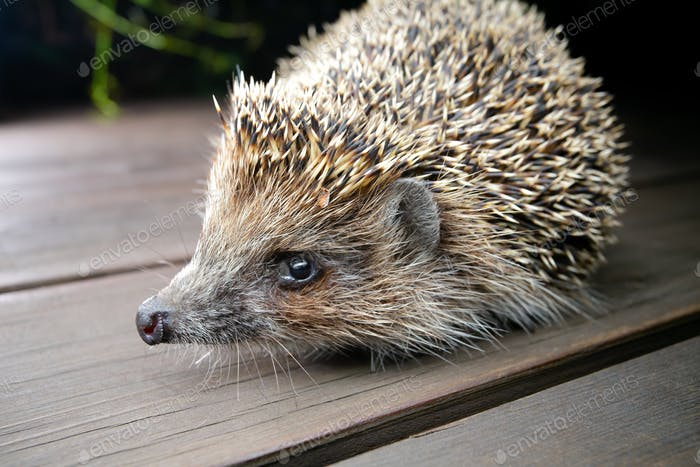 Hedgehog on wooden boards looks in camera