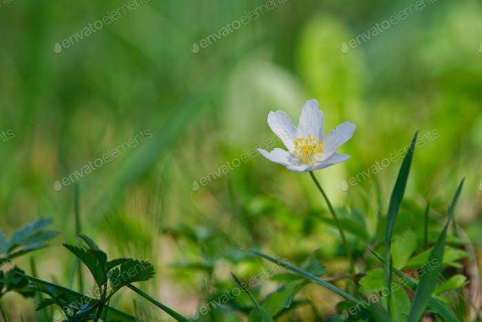 Frühlingsblume Holzanemone (Anemone nemorosa) in einer Natur
