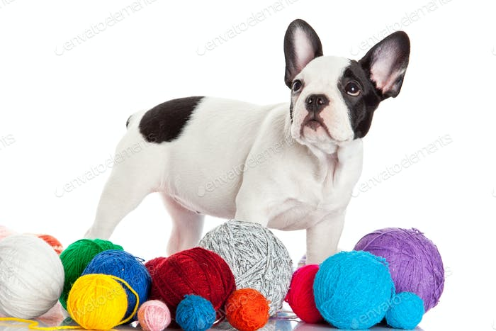 Happy puppy of the french bulldog  on a white background