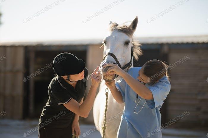Female jockey and vet examining horse mouth