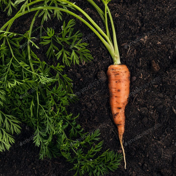 Fresh Carrot On The Soil Background
