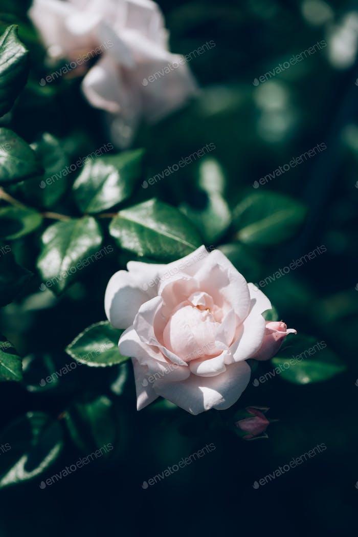 Garden light pink roses