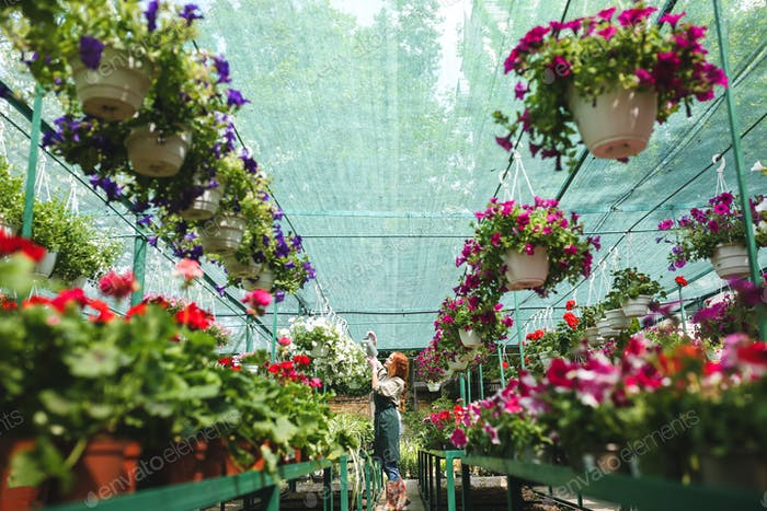 Pretty florist in apron standing and watering beautiful flowers while working in big greenhouse