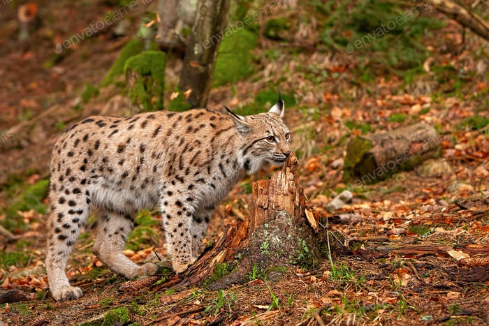 Eursian lynx in autumn forest with blurred background