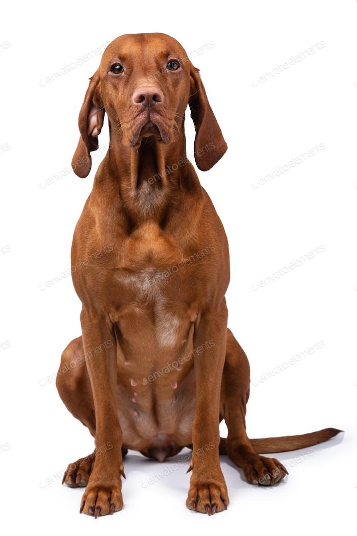 Hungarian vizsla dog isolated