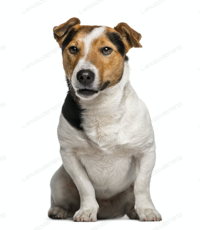 Jack Russell Terrier (3  years old)