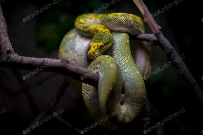 Green tree python isolated on black