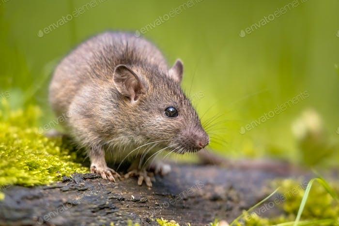 Rata marrón en hierba en la orilla del río