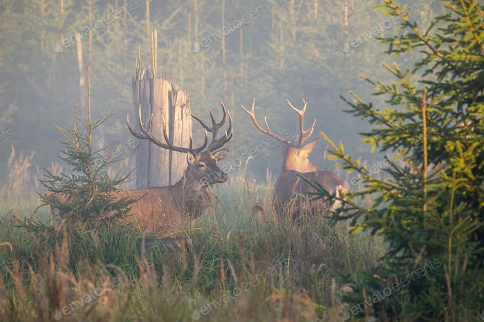 Two majestic red deer stags standing in mist in the morning