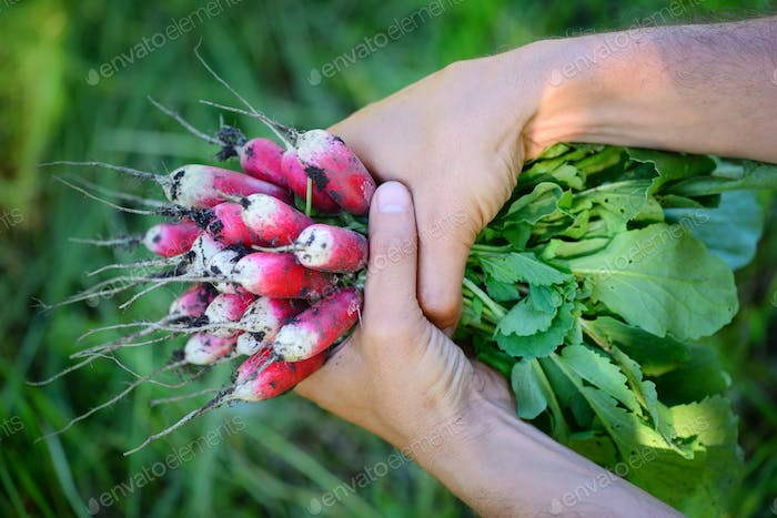 Fresh organic radishes with tops and green leaves in the hands o