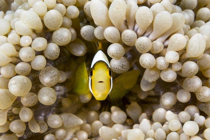 Yellow clownfish