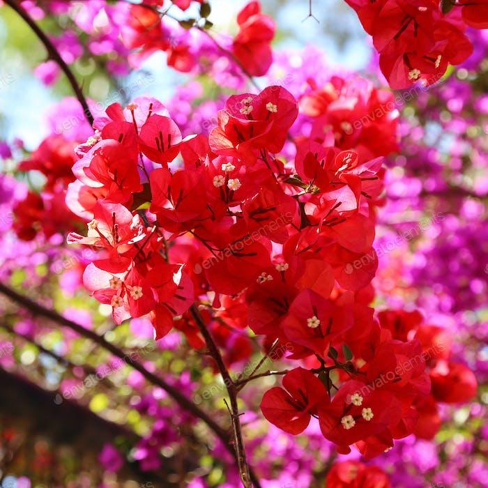 Schöne helle Bougainvillea Blumen