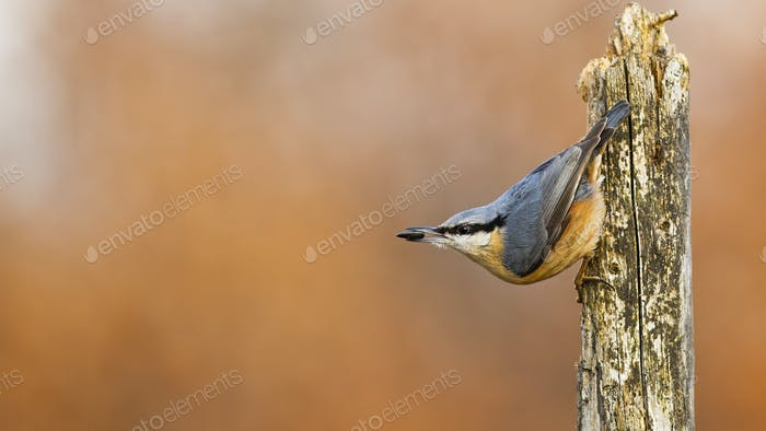 Colorful eurasian nuthatch holding sunflower seed in its beak in chilly weather