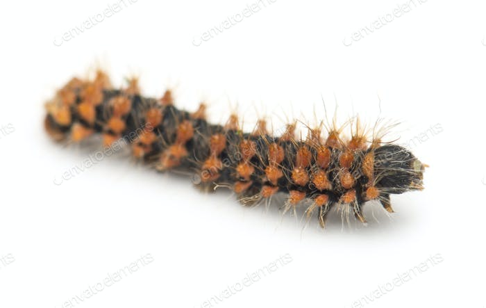 New born caterpillar of Giant Peacock Moth, Saturnia pyri, against white background