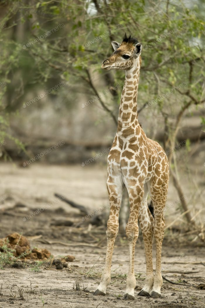 Young giraffe in the Serengeti, Tanzania, Africa