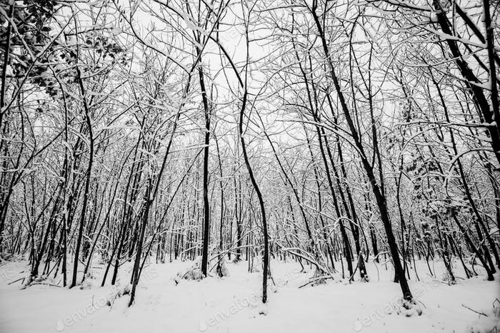 wood and trees forest during a big snownig. snow everywhere for black and white cold image concept