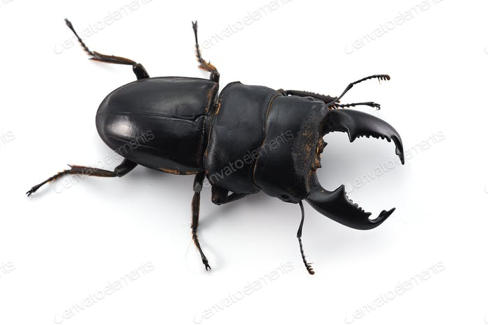 Giant Stag Beetle isolated on white background