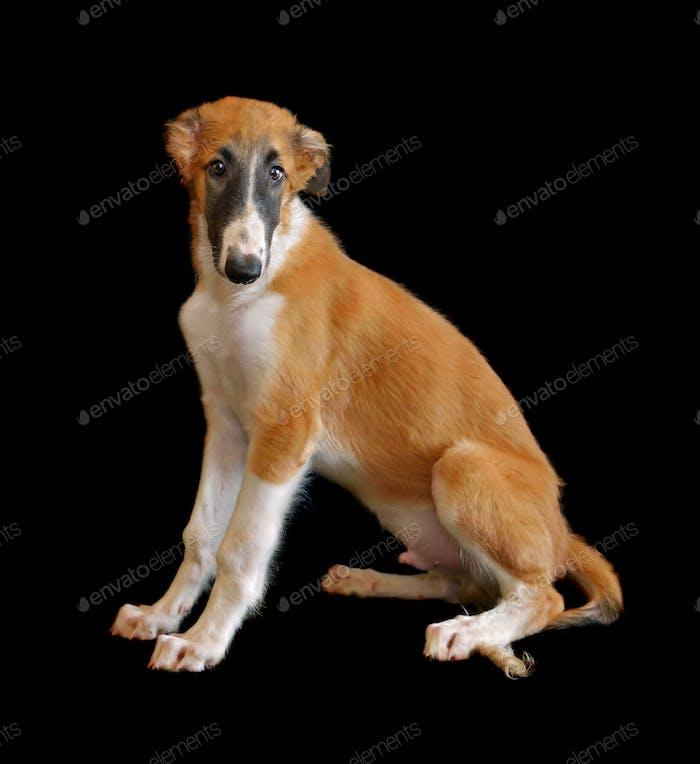 Русский борзой собака Щенок