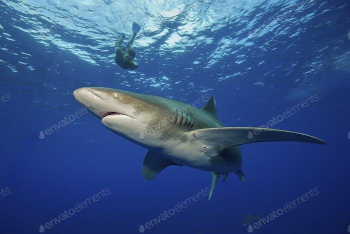Taucher schnorcheln mit dem mächtigen Raubtier, Oceanic Whitetip Shark, Carcharhinus longimanus