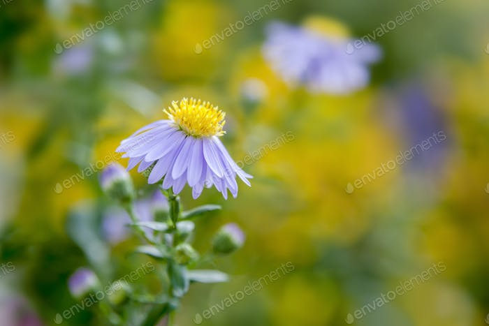purple aster in the garden
